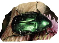 cetonia aurata picture